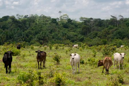 Cows Feeding Cow Cattle Ranching Is An Attack On Fulani Culture