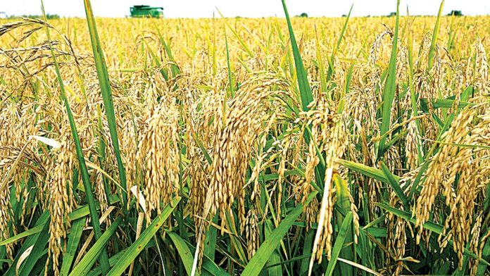 RICE nigeria-to-reduce-importation-of-wheat-by-60-in-2025-olabanji